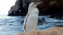 Guide Spots Rare White Penguin, Believed to Be the Galapagos Islands' First, on Tour