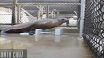 Sea lion can groove to the beat