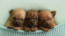 Photographer poses foster puppies like newborn babies to help find homes