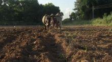 A falta de petróleo, el buey y el caballo mueven Cuba