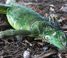 The night the iguanas fell: Cold snap chills Florida, and lizard meat is up for sale