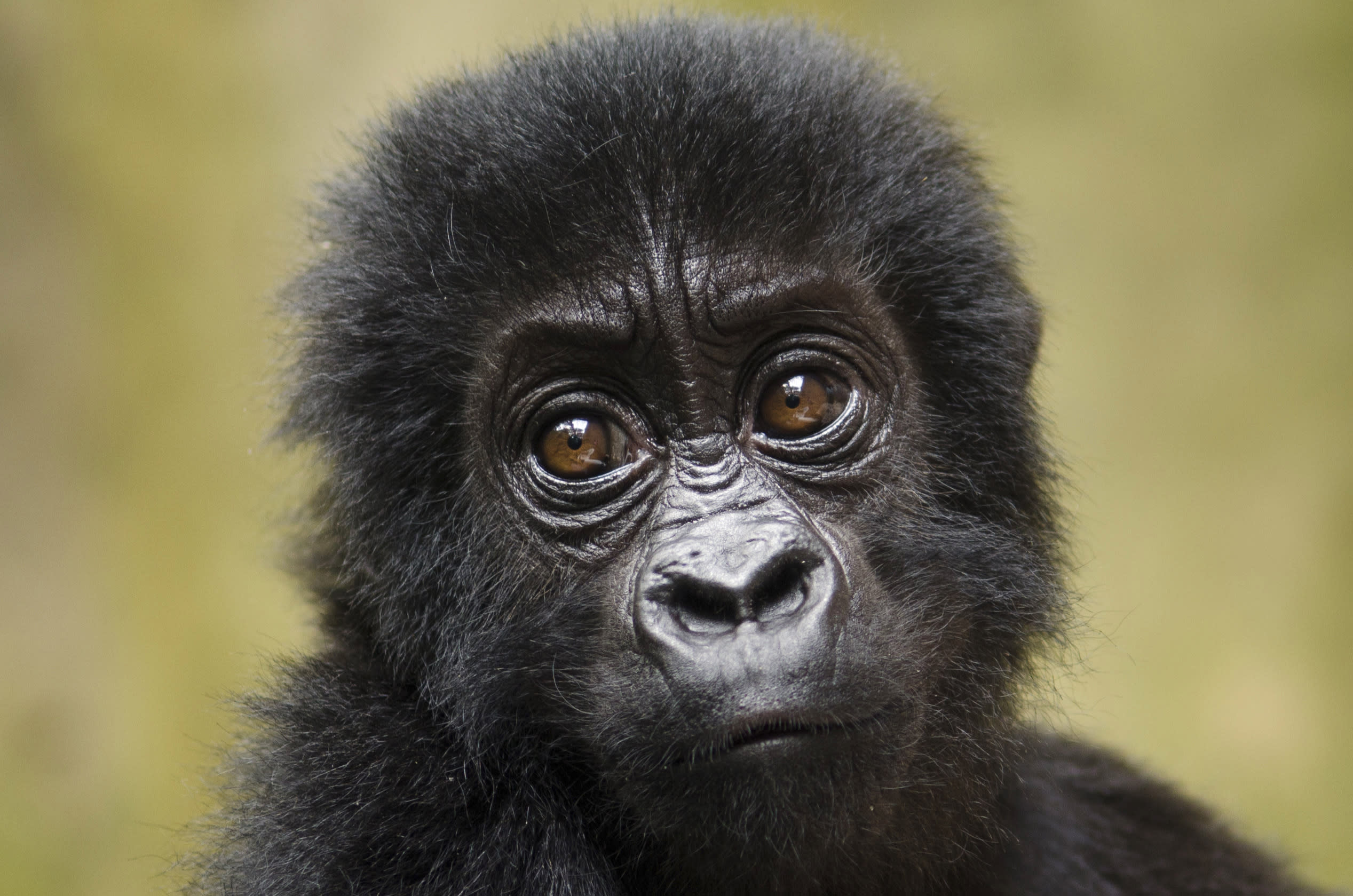 FILE - In this Saturday, Sept. 15, 2012 file photo released by Virunga National Park, a baby Grauer's gorilla that had been poached from Kahuzi-Biega National Park is seen at the Senkwekwe Orphan Gorilla Center at Virunga National Park in eastern Congo. Twenty-five species of monkeys, langurs, lemurs and gorillas are on the brink of extinction and need global action to protect them from increasing deforestation and illegal trafficking, researchers said Monday, Oct. 15, 2012. (AP Photo/Virunga National Park, LuAnne Cadd, File) EDITORIAL USE ONLY