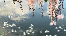 河上飄流雪花奇景! 宜蘭穗花棋盤腳夢幻盛開