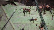 Las hormigas soldado no necesitan cerebros muy grandes