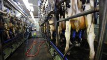 O leite de vaca feito sem vacas