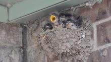 Parks Canada asks for patience with 'aerial acrobats' barn swallows