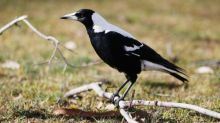 Magpie edges out white ibis and kookaburra as Australian bird of the year