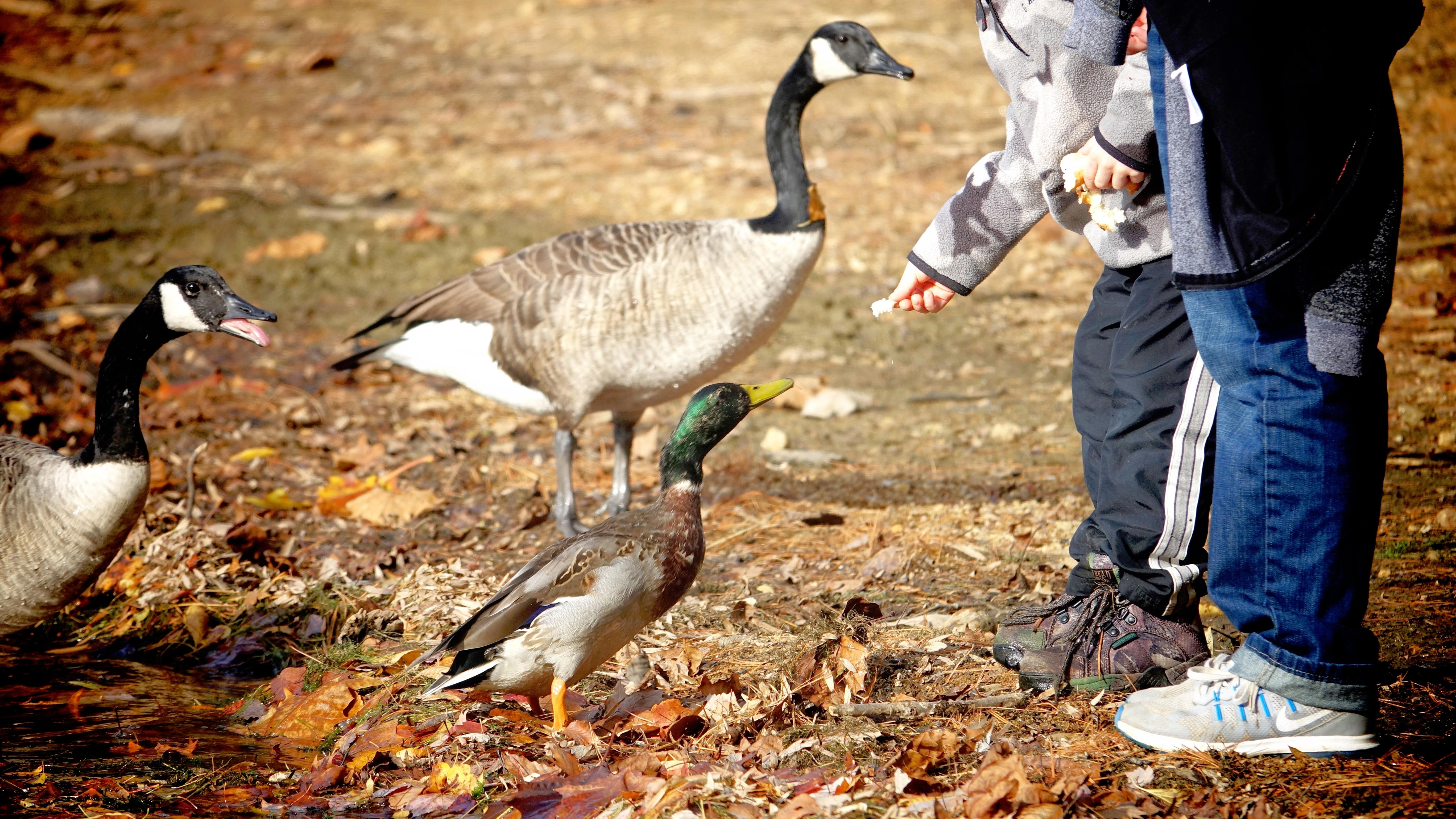 People Urged To Keep Feeding Ducks Bread