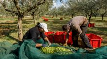Croatia's Istria region producing some of the world's best olive oil, say experts