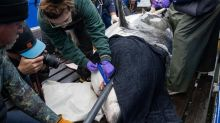 Great white tagging program off N.S. stirs debate over treatment of sharks