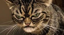 This may be the world's grumpiest cat