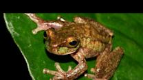 Rare Frog Is Saved From Extinction