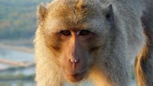 ¿Han creado los chinos monos inteligentes insertándoles genes humanos?