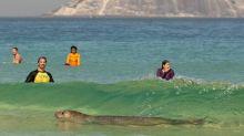 Elefante-marinho é flagrado na Praia do Arpoador; veja vídeo