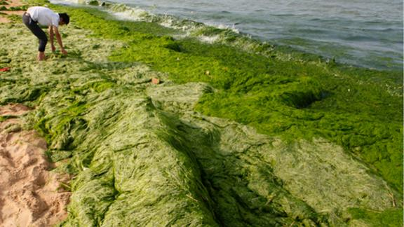 Sea Lettuce Turns Beach Completely Green