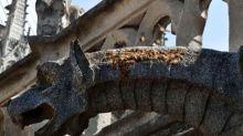 Notre Dame: se develó el misterio de las 150 mil abejas que estuvieron en el incendio