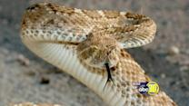 Valley vets are warning residents of Rattlesnakes