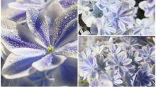 日本「繡球花」新品種 超靚「萬華鏡」Twitter熱傳