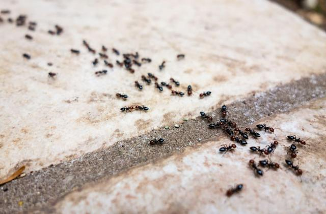 Gene-altered ants show how animal societies work