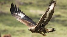 A pair of golden eagles have successfully bred in the Scottish Highlands for the first time in 40 years