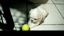 Tiny Maltese Puppy Not Sure What to Do With Ball
