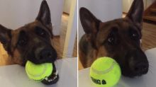 German Shepherd makes it very clear that he's ready for playtime