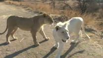 Walking With White Lions