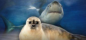 Would killing seals prevent shark attacks?
