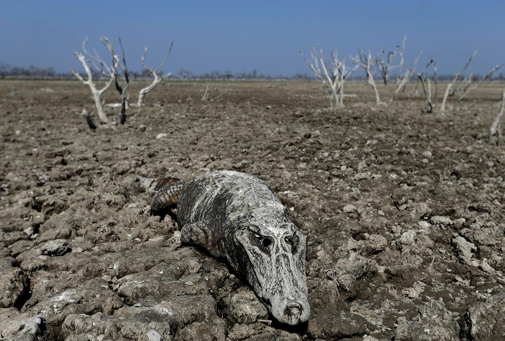 <p>The carcass of a yacare caiman lies in the dried-up river bed of the Pilcomayo river in Boqueron, Paraguay on Aug. 14, 2016. (Photo: Jorge Adorno/Reuters) </p>