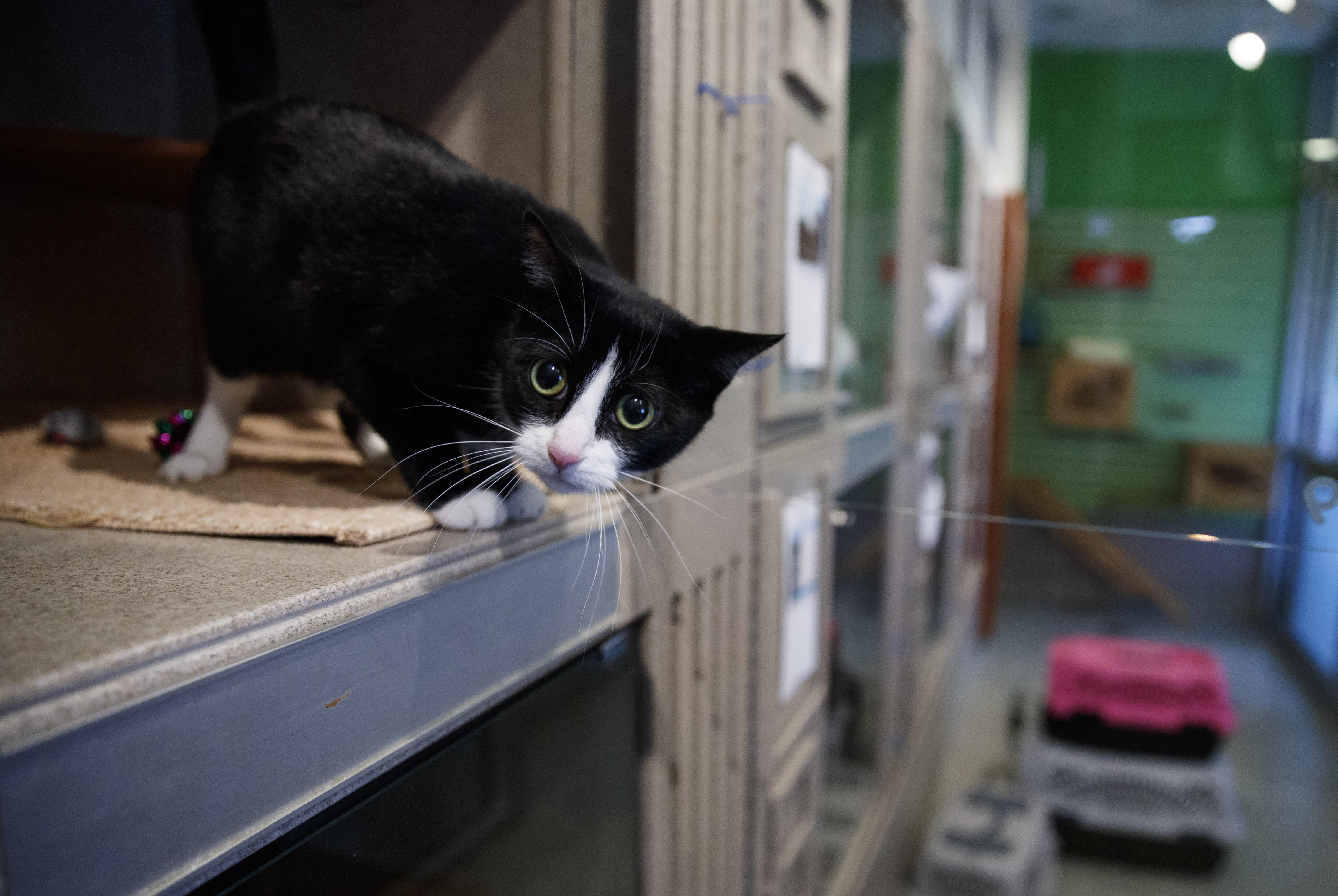 Miss Kitty, a four-year old short-haired cat, looks out from her new enclosure at Humane Rescue Alliance in Washington, Tuesday, Sept. 11, 2018. Miss Kitty is one of 26 cats and dogs that arrived in Washington from Norfolk Animal Care and Control of Norfolk, Va., in advance of Hurricane Florence. People aren't the only ones evacuating to get out of the path of Hurricane Florence. The dogs and cats will all be available for adoption. (AP Photo/Carolyn Kaster)