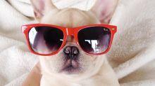 Milo es el bulldog narcoléptico más adorable de Instagram