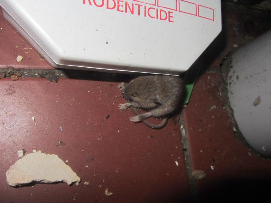 how to get rid of mice in kitchen uk