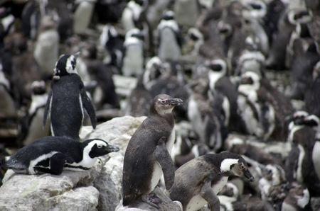 A colony of African penguins is pictured at the Penguin Reserve at Stony point in Betty's Bay near Kleinmond, southwest of Cape town, South Africa, November 26, 2009. REUTERS/Kai Pfaffenbach/File Photo