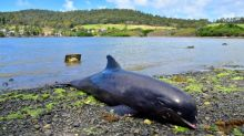 Dying mother dolphin struggles to save baby in Mauritius lagoon after oil spill