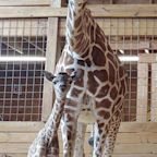 April the Giraffe's Calf, Azizi, Dies Unexpectedly at Texas Zoo: 'Absolutely Devastating'
