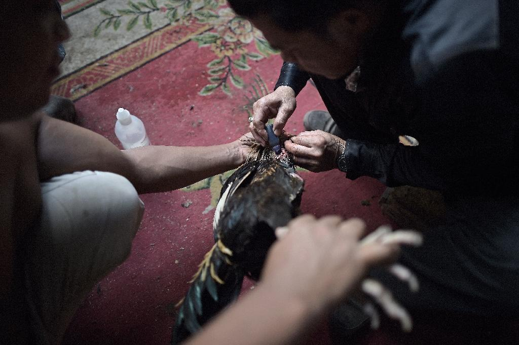 A man uses disinfectant to treat the injured neck of his bird following a cock fight at a makeshift ring under a highway in central Bangkok (AFP Photo/Christophe Archambault)