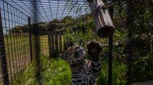 'Estamos reparando el daño que hemos hecho': el regreso de los jaguares en Argentina