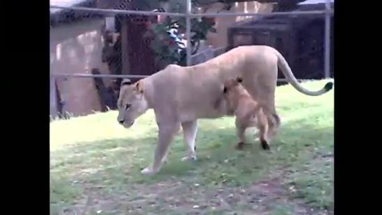 Honolulu Zoo unveils three new lion cubs