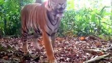 Incredibly rare tiger licks hidden camera