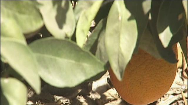 Governor vetoes bill to fight citrus disease