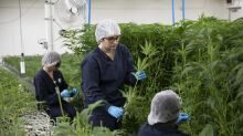 Marijuana stocks get a lift, Edible Arrangements looks to CBD