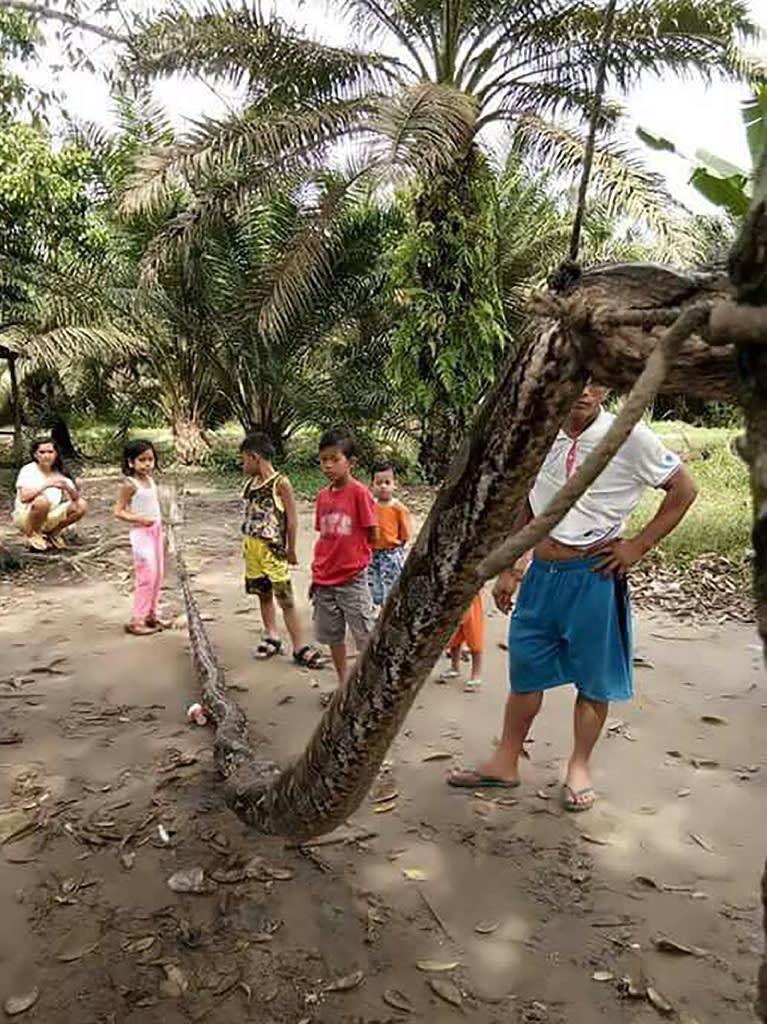 Hungry locals in the remote Batang Gansal subdistrict of Sumatra island killed the snake and displayed its body in the village before dicing it up, frying it and feasting on it. (AFP Photo/HANDOUT)