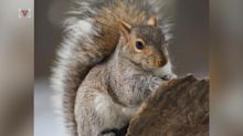 Squirrels could hold the secret to preventing brain damage in stroke patients