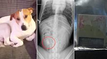 Dog undergoes lifesaving surgery after vets find a VIDEO GAME in his stomach