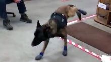 Police Dog Shows These Boots Are Not Made For Walking