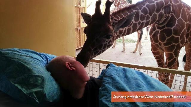 Giraffe Gives Farewell Kiss to Terminally Ill Caretaker