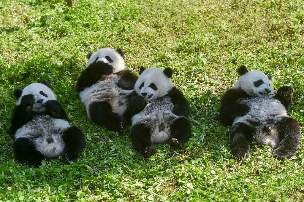 Panda cubs eat in the Shenshuping panda base of the Wolong National Nature Reserve in Wenchuan, China's southwestern Sichuan province