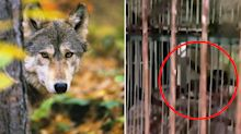 Zoo's bizarre act after wolf 'dies of old age'