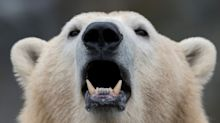 Plastic Pollution is Making Polar Bears Grow Two Sets of Testicles, Claims British Politician