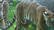 Meet Nadia, the Bronx Zoo Tiger That Tested Positive for Coronavirus (File)